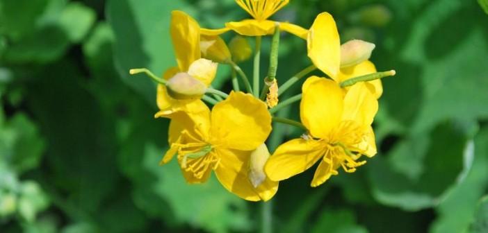 Rostopasca – remediu naturist pentru 150 de afectiuni
