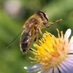 Ce se poate intampla daca dispar albinele