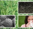 polen ambrozia colaj
