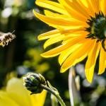 Polenul de albine – unul dintre cele mai complexe superalimente din natura